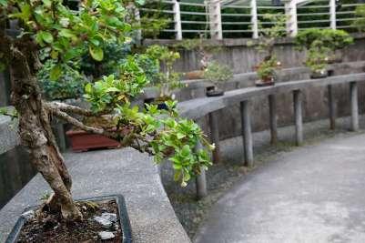 Botanischer Garten Singapur: Bonsaibäume.