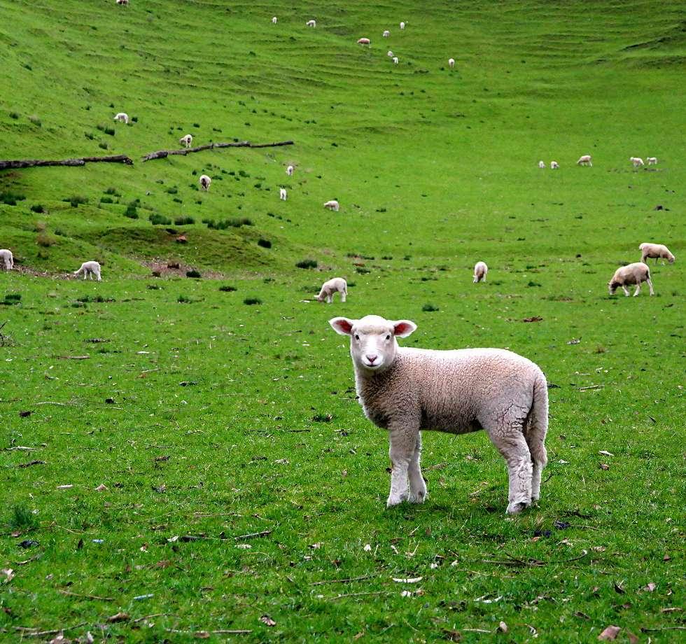 Schafe auf dem One Tree Hill in Auckland