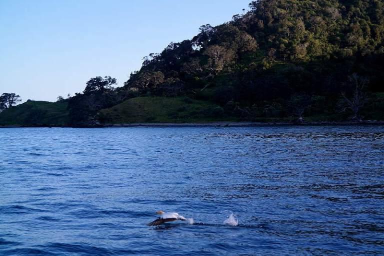 Bastölpel Neuseeland