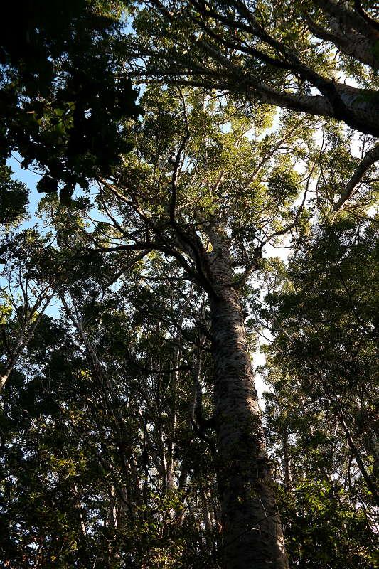 Kauri Baum im Kauri Bushmans Memorial Scenic Reserve