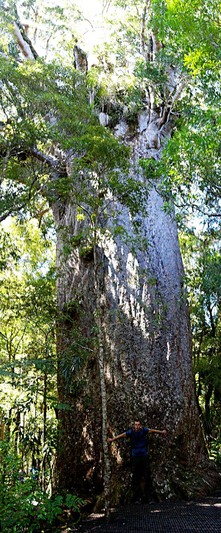Waipoua Forest Yakas