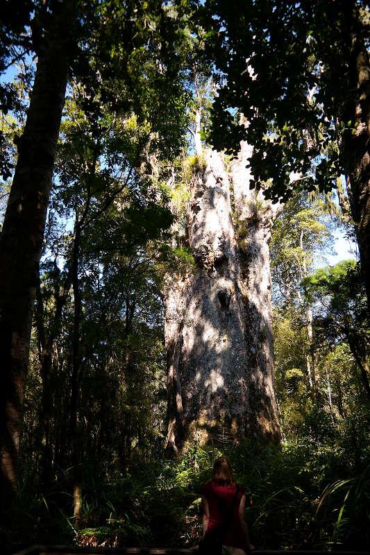 Waipoua Forest Te Matua Ngahere