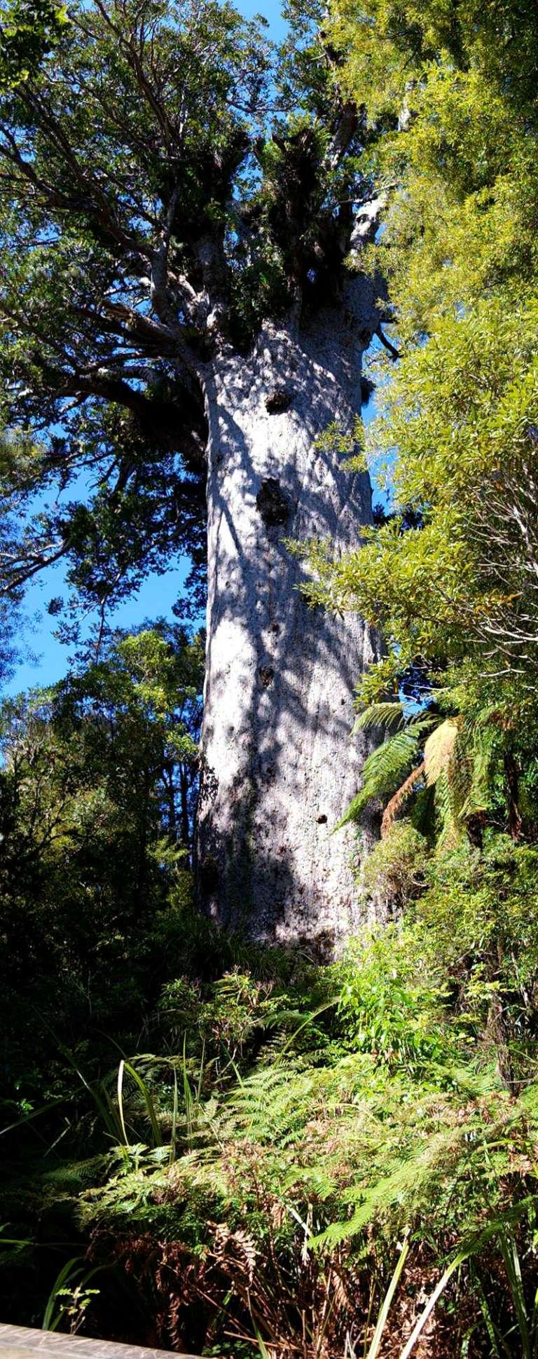 Waipoua Forest Tane Mahuta - der größte lebende Kauri