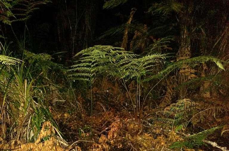 Kiwi Suchbild im Dschungel
