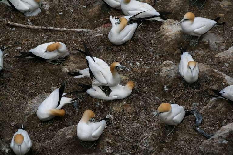 Bastölpel Vögeln Muriwai