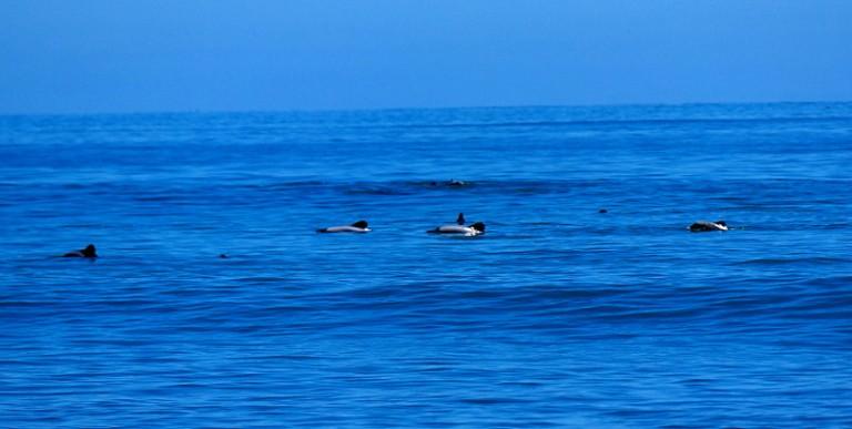 hector-delfine_schwimmen_02