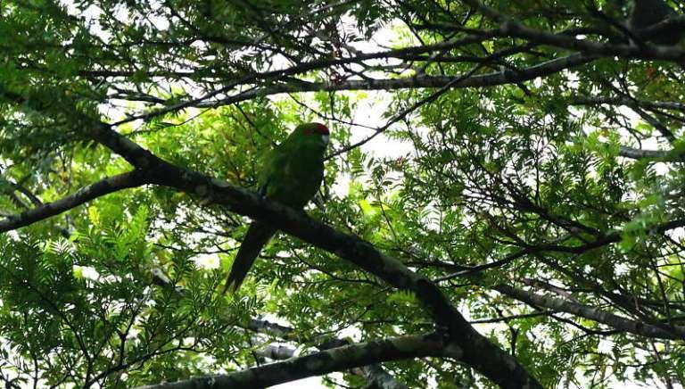 stewart_island_22_parakeet