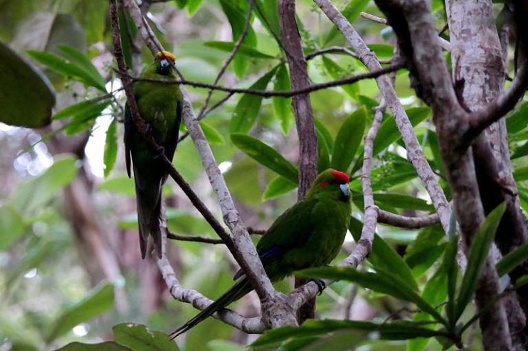 stewart_island_54_parakeets_ulva_island