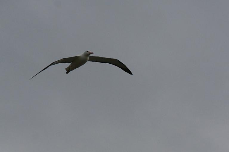 albatrosse_04