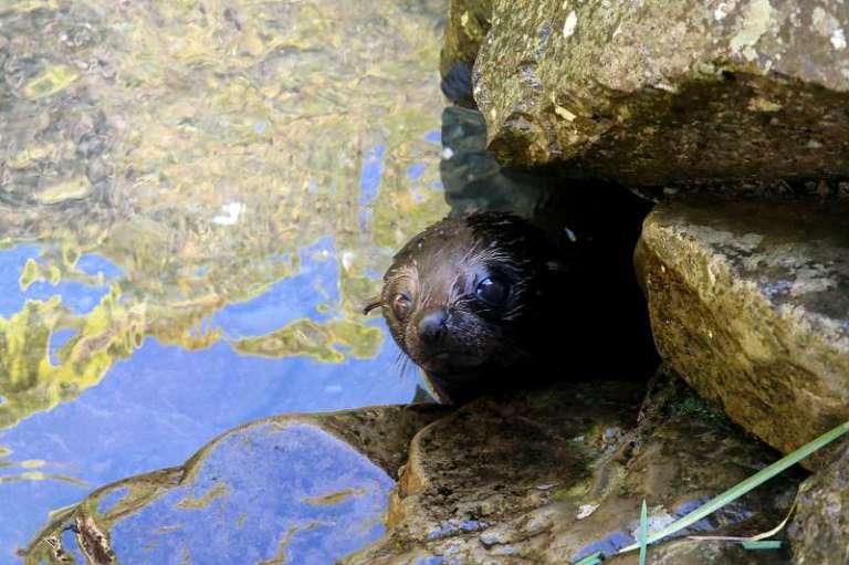 Seal pup Robben-Baby Neuseeland