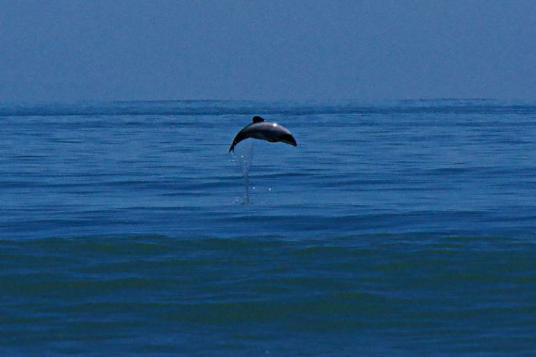Hector-Delfin Neuseeland