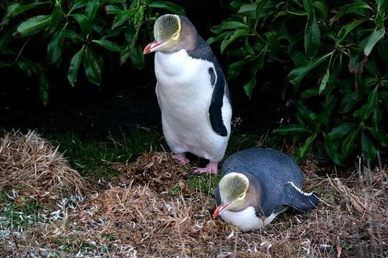 Gelbaugen-Pinguin in Neuseeland