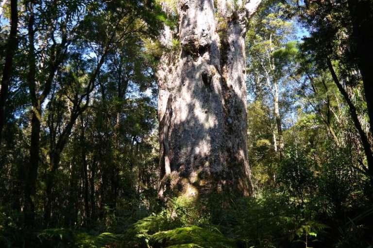 Waipoua Forest Tane Ngahere