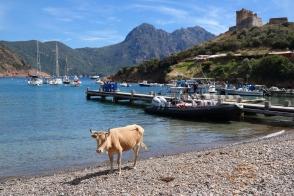 Kuh am Strand auf Korsika