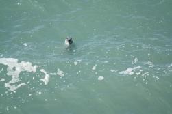 Seehund im Wasser in Wales