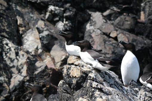 Tordalks auf Ramsey Island