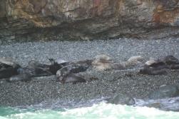 Eine Kolonie Seehunde auf Ramsey Island