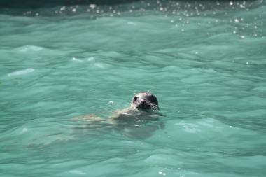 Seehund im Wasser vor Ramsey Island, Wales