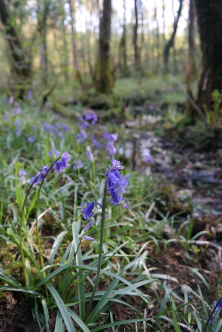 Bluebells in Wales - Detail