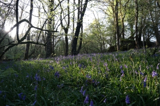 Bluebells in Wales