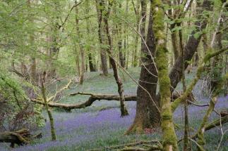 Feld von Bluebells in Wales