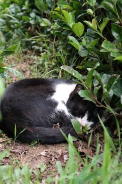 Gorreana Teefelder mit schlafender Katze auf den Azoren