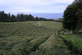 Gorreana Teefabrik auf den Azoren
