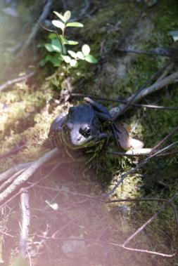Frosch im Stanley Park in Vancouver
