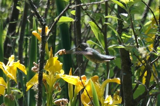 Kolibri im Stanley Park in Vancouver