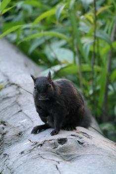 Eichhörnchen zwei im Stanley Park in Vancouver