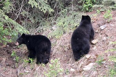 Junge Schwarzbären im Yoho Nationalpark in Kanada