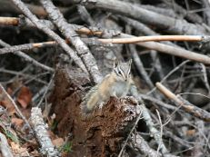 Streifenhörnchen im Kentucky Alleyne Provincial Park
