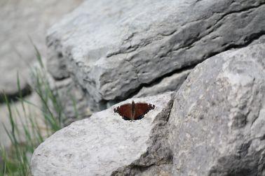 Schmetterling am Maligne Lake