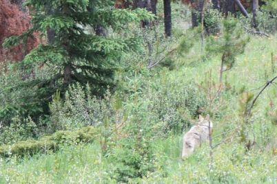 Kojote bei Jasper