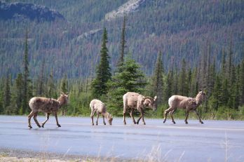 Dickhornschafe im Jasper Nationalpark