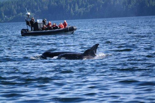 Whale Watching Nanaimo