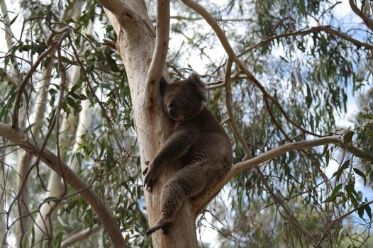 Koala im Morialta Conservation Park