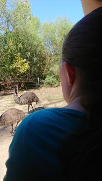 Emus auf dem Parkplatz