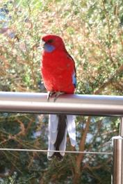 Papagei Halls Gap Lakeside Tourist Park