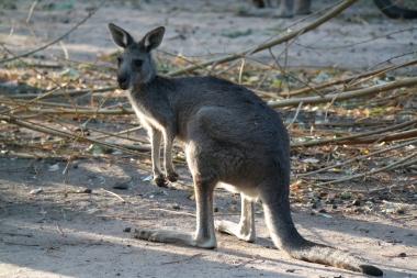 Tschüss Känguru