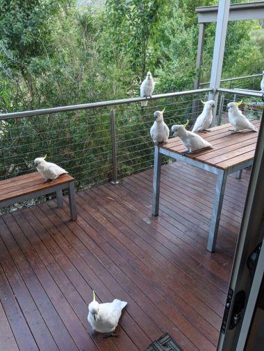Kakadus in Australien